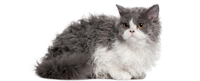 Selkirk Rex Cat Breed Profile Petfinder