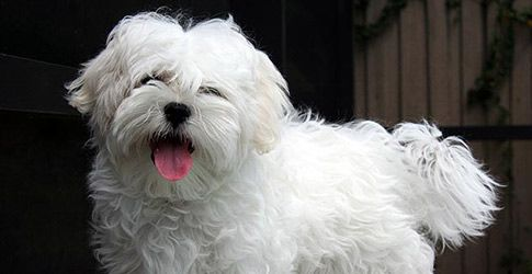 What Are The Best Hypoallergenic Dogs For People With Allergies?