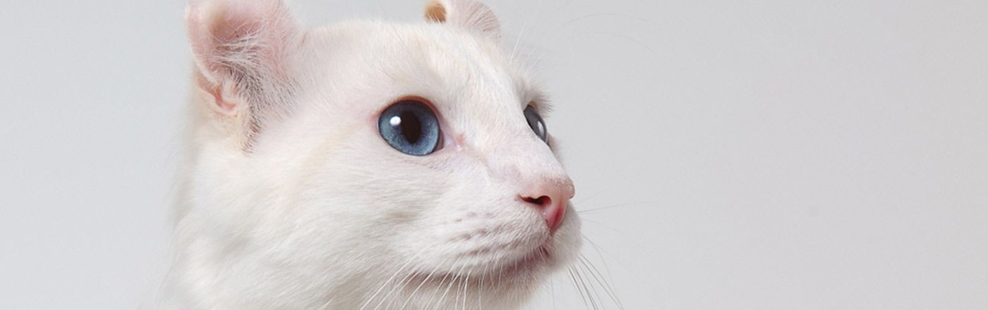 Meet the White Cat Breeds