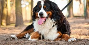 What are Some Large Dog Breeds?