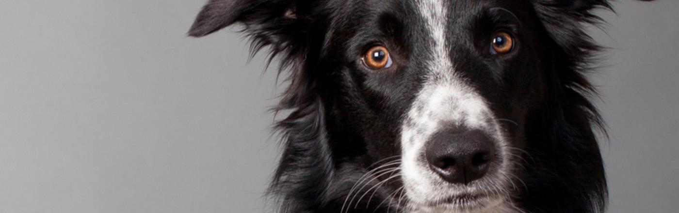 What Are The Smartest Dog Breeds Petfinder