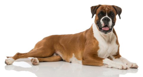Bernese Mountain Dog Dog Breed Profile | Petfinder