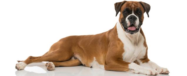 Boxer Dog Breed Profile | Petfinder