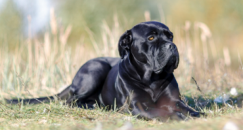 Cane Corso Dog Breed Profile Petfinder