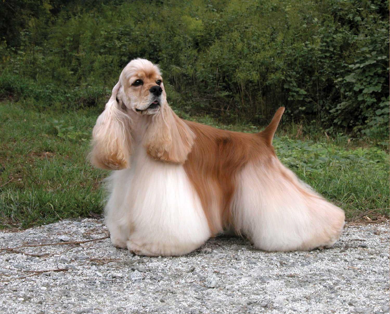 American Cocker Spaniel Dog Breed Profile Petfinder