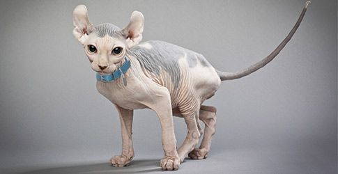 Hairless Cats: Breeds, Info and facts | Petfinder