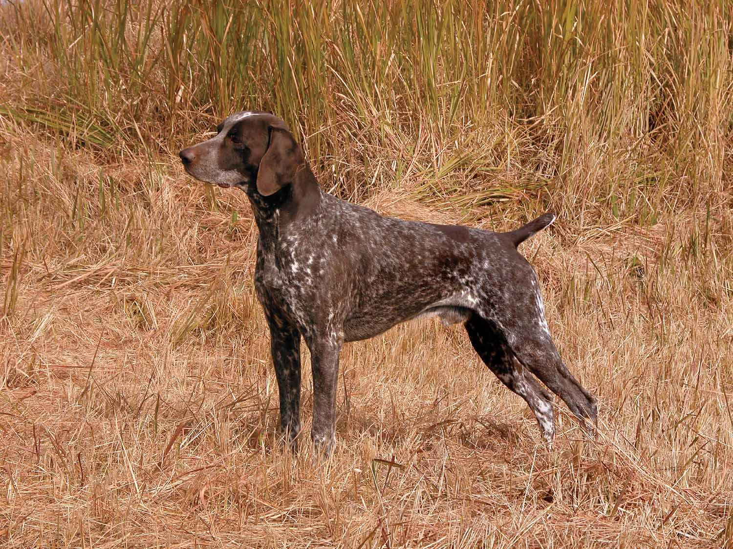German Shorthaired Pointer Dog Breed Profile Petfinder