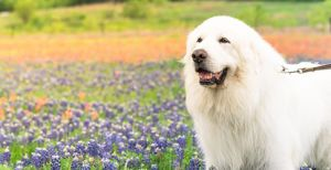 Fluffy Dogs: Top Breeds And Grooming Needs