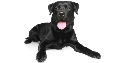 Image result for zeus the black lab