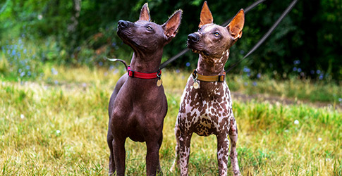 What are the Hairless Dog Breeds
