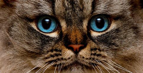 Meet the Fluffy Cat Breeds
