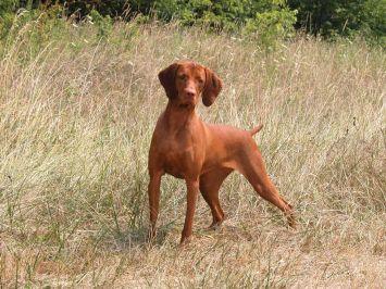 vizsla dog breed profile petfinder