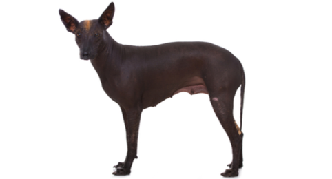 Xoloitzcuintli / Mexican Hairless