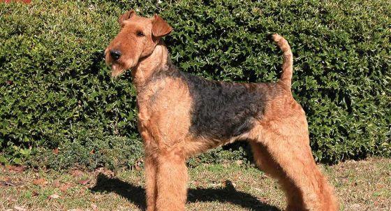 Schnauzer Dog Breed Profile | Petfinder