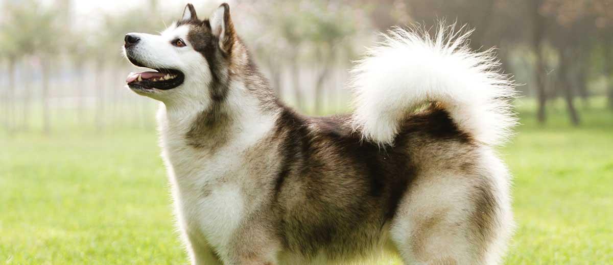 Image of: Smartest Dog Alaskan Malamute Physorg List Of Dog Breeds Petfinder