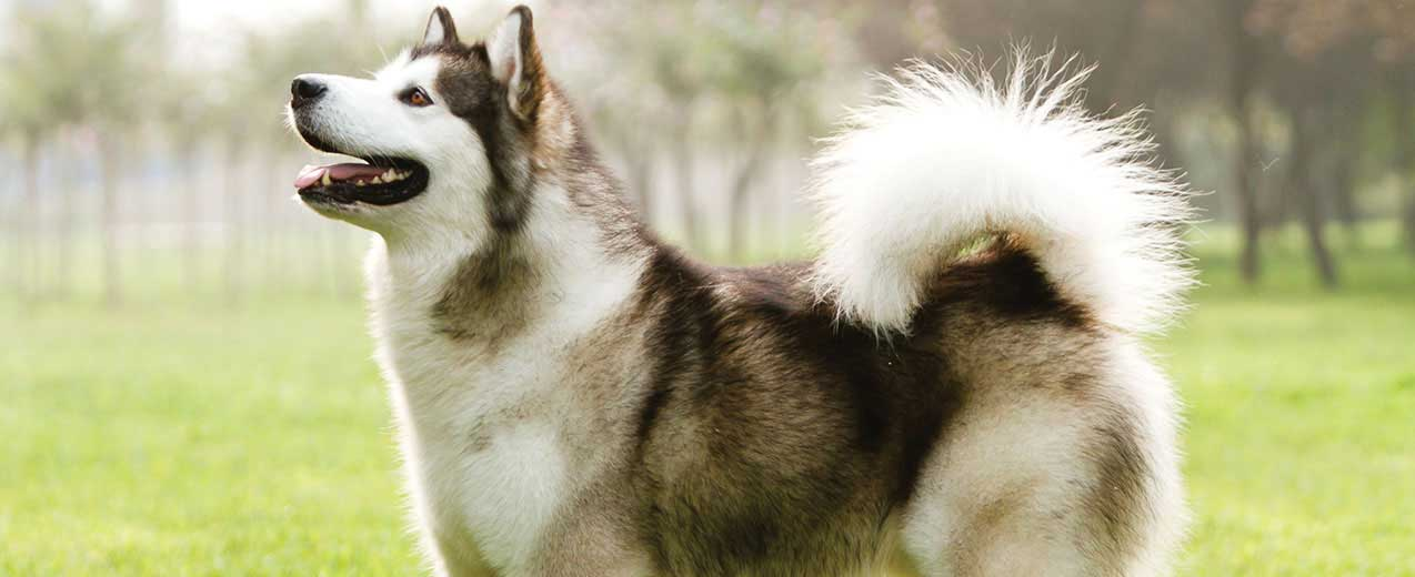 Alaskan Malamute Dog Breed Profile | Petfinder