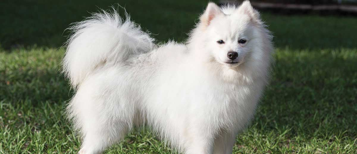 Image of: Guide American Eskimo Dog The Telegraph List Of Dog Breeds Petfinder