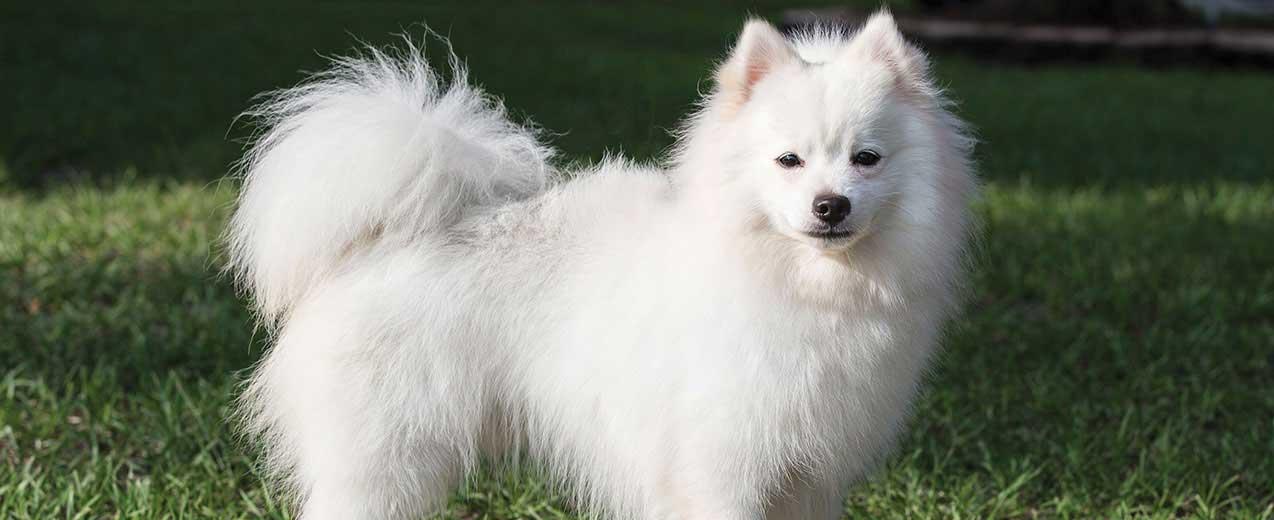American Eskimo Dog Dog Breed Profile | Petfinder