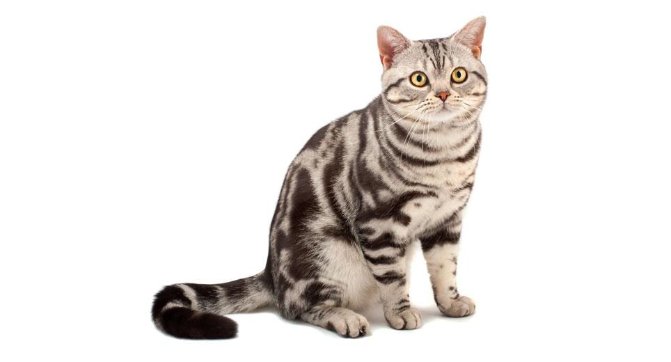 Cream American Shorthair Cat