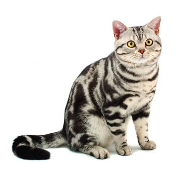 American Shorthair Cat Breed Profile | Petfinder