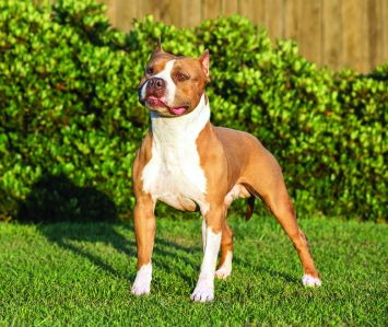 American Staffordshire Terrier Dog Breed Profile | Petfinder