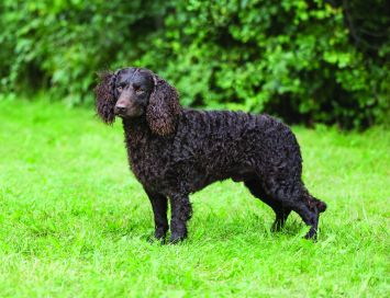 American Water Spaniel Dog Breed Profile Petfinder