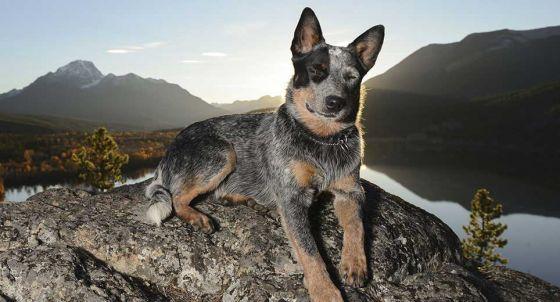 Canaan Dog Dog Breed Profile | Petfinder