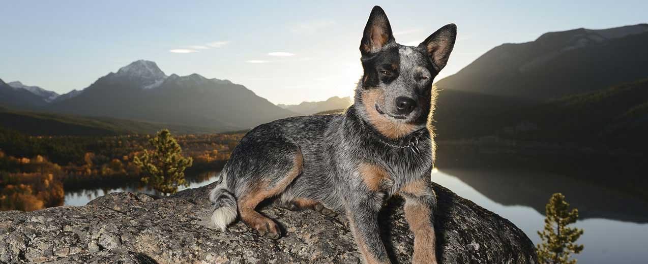 Australian Cattle Dog Dog Breed Profile Petfinder