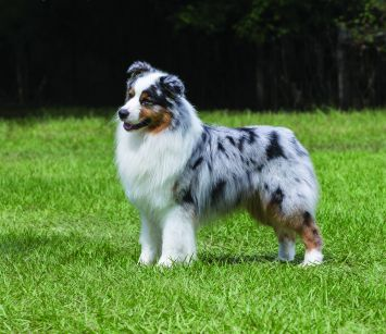 Australian Shepherd Dog Breed Profile | Petfinder