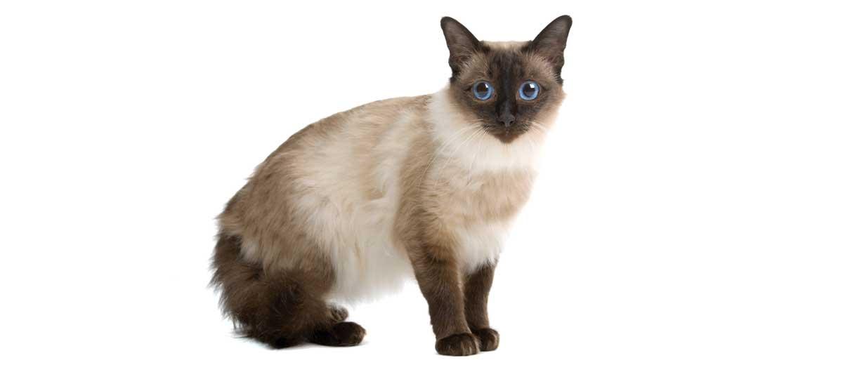 Balinese Cat Breed Profile Petfinder