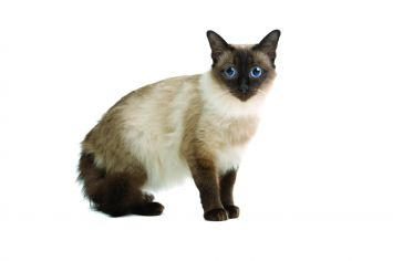 Balinese Cat Breed Profile | Petfinder