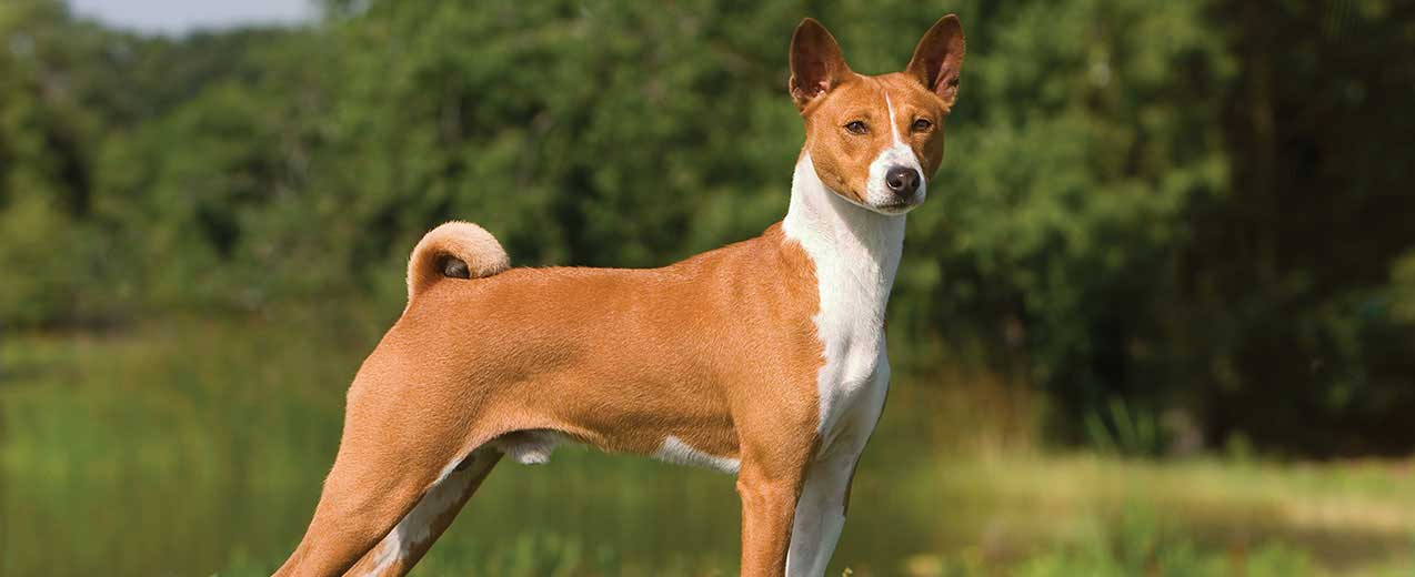 Basenji Dog Breed Profile | Petfinder