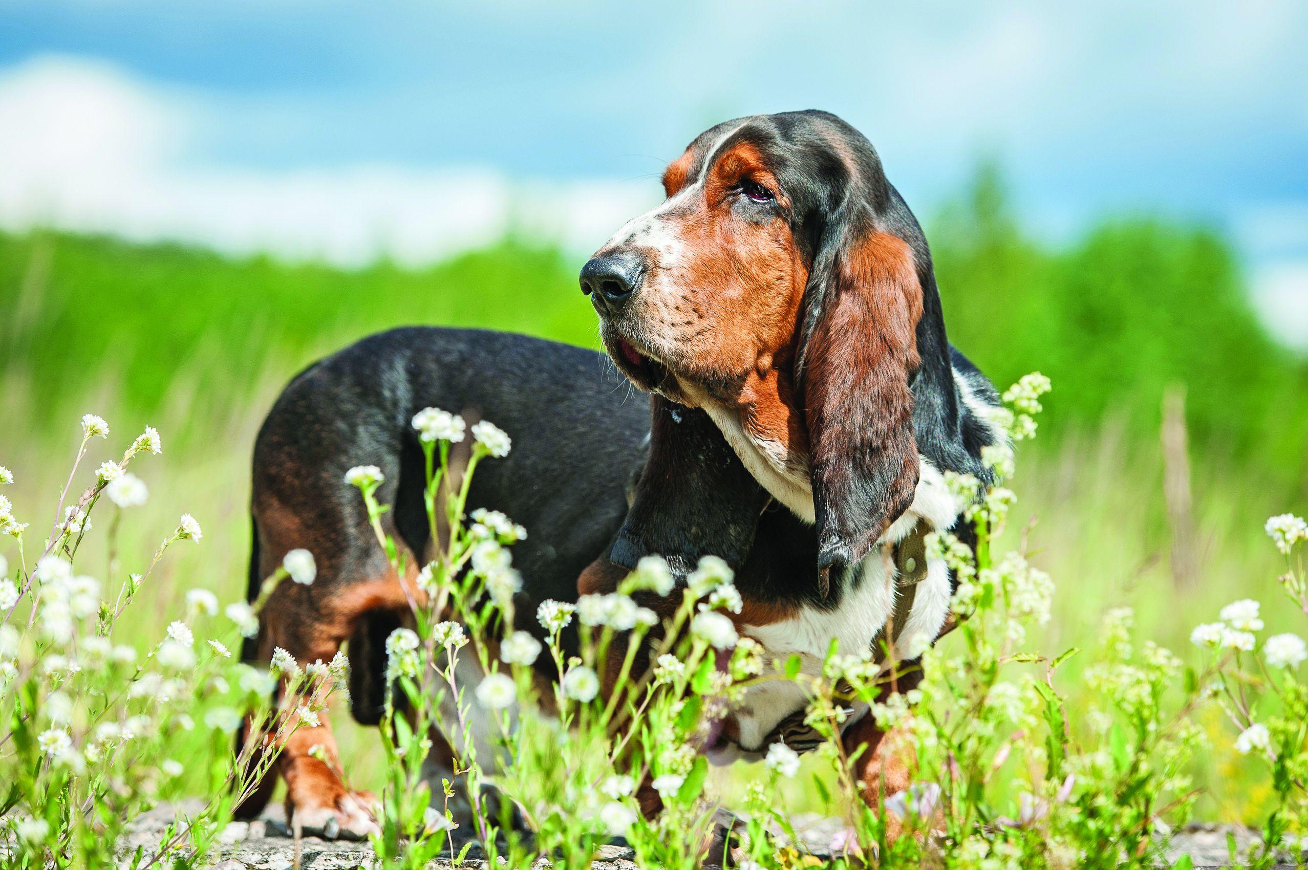 Basset Hound Dog Breed Profile Petfinder