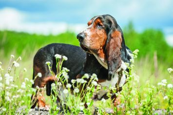 Basset Hound Dog Breed Profile Petfinder