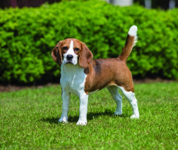 Beagle Dog Breed Profile Petfinder