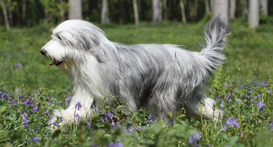 Old English Sheepdog Dog Breed Profile | Petfinder