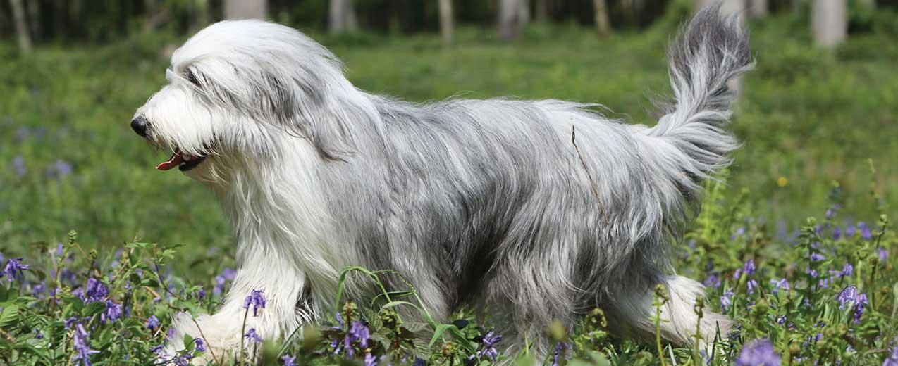 Bearded Collie Dog Breed Profile Petfinder