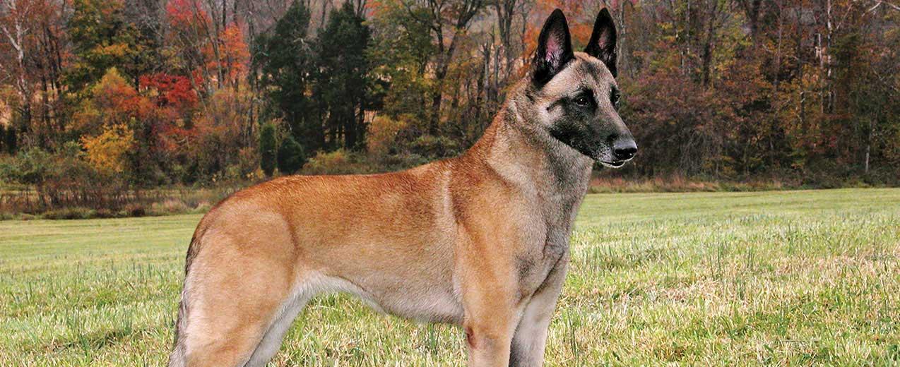 Belgian Shepherd / Malinois Dog Breed Profile   Petfinder