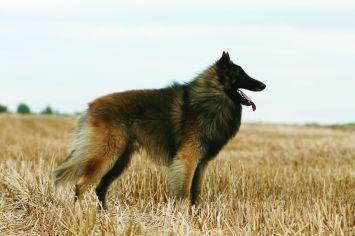 Belgian Shepherd / Tervuren
