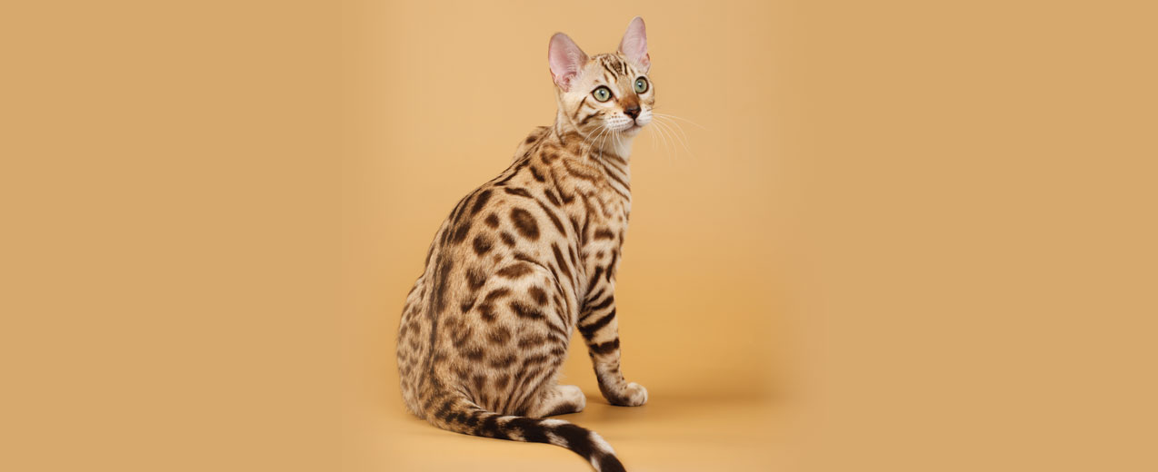 Bengal Cat Breed Profile