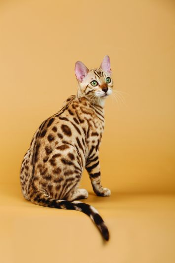 Bengal Cat Breed Profile Petfinder