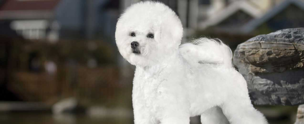 Bichon Frise Dog Breed Profile Petfinder