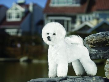 Bichon Frise Dog Breed Profile | Petfinder