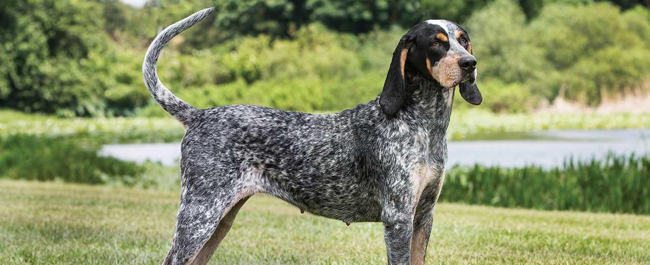Bluetick Coonhound Dog Breed Profile | Petfinder
