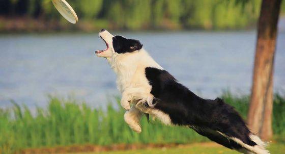 Belgian Shepherd / Malinois Dog Breed Profile | Petfinder