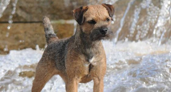 Staffordshire Bull Terrier Dog Breed Profile | Petfinder
