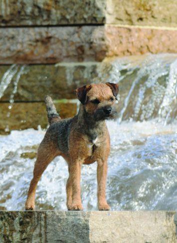border terrier dog breed profile petfinder