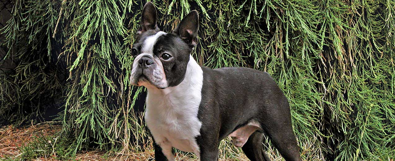 Boston Terrier Dog Breed Profile Petfinder