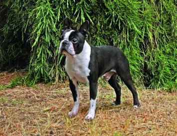 Boston Terrier Dog Breed Profile | Petfinder