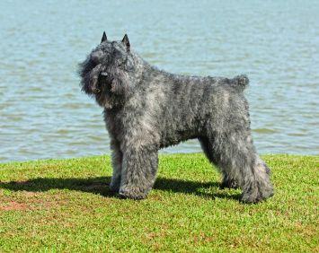 Bouvier Des Flandres Dog Breed Profile Petfinder